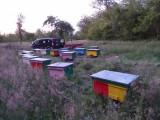 Vând 15 familii de albine cu lăzi!