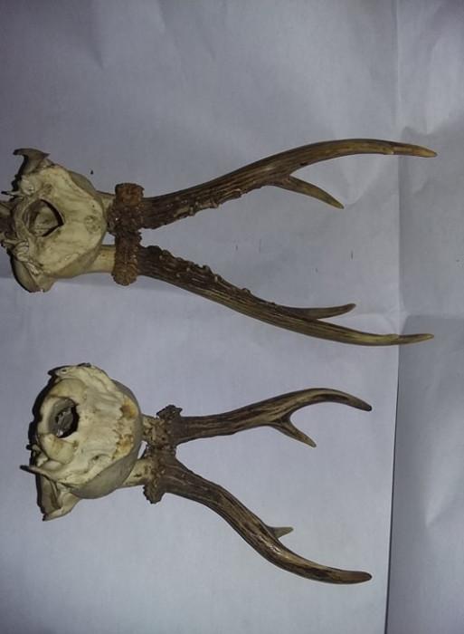 LOT 2buc Ornament VINTAGE trofeu coarne de cerb/caprior cu craniu VECHI,T.GRATUI