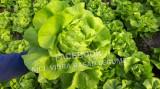 Vand Salata Verde
