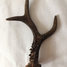 Corn de caprioara / caprior, 19 cm, trofeu, decor, sau pt maner cutit