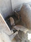 Purcei Mangalita