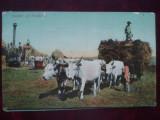 1909-C.P. circ.-Car cu boi-RARA