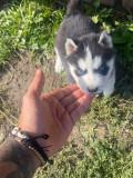 Vand cățeluși husky siberian
