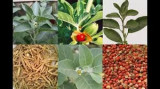 Withania somnifera , ashwagandha, Indian ginseng / 7 seminte pt semanat