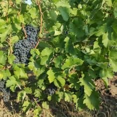 Vand struguri pentru vin sau facuti direct must