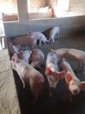 Porci 25 - 120 kg