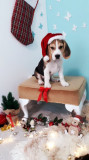 Beagle cățeluș jucăuș, 2 luni jumătate cu toate vaccinările la zi