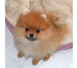 Pupici de Pomeranian purpuriu