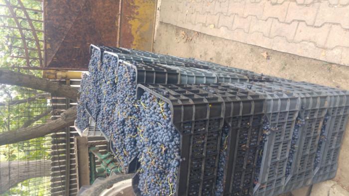 Struguri de vin merlot