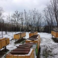 Roi de albine