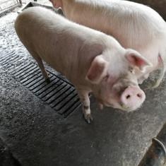 Vând porci!