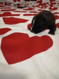 Câini amstaff