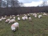 Vand 50 de oi cu pretul de 250/oaie !