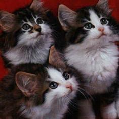 Pisici norvegiana de padure bucuresti