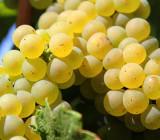 Vând struguri de vin - Fetească
