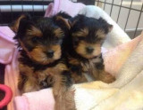 Awesome pui de terrier yorkshire