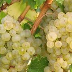 Vand struguri de vin feteasca regala si feteasca alba calitate superioara