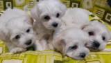 Bichon Maltez mini toy pedigree
