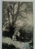 "Vizantea ""Stejarul Verde"" etate circa 600 ani, august 1934"