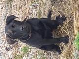 Pui labrador negru, Royal Canin