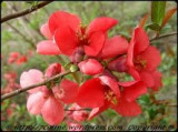 Gutui japonez (Chaenomeles japonica)