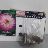 Bulbi Dalii Cactus Snoho