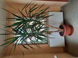 Planta ornamentala pentru spatii mari., Plant