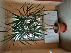 Planta ornamentala pentru spatii mari. foto