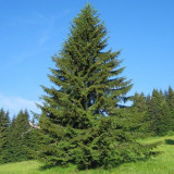 Molid, (Picea abies), Inaltime 1,8- 2,2 m
