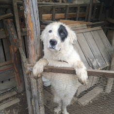 Vând câinele ciobănesc bucovinean si câine ciobănesc carpatin