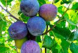 Tuică de prune