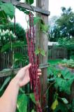 FASOLE JAPONEZA YARD LONG RED, fara ate - 5 seminte pentru semanat