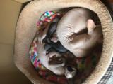 Pisică Sfinx/Sphynx