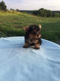 Vand pui yorkshire terrier