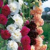 Cumpara ieftin Seminte Nalba de gradina, amestec de culori, 1 gr