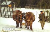Carte postala Bucovina SV147 Campulung Moldovenesc -De la padure, cu boii