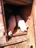 Porc crescut bio