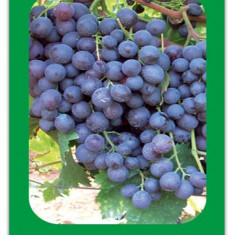 Ploiesti struguri negri soi nobil pentru vin si masa Muscat de HAMBURG.