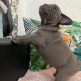 Bulldog francez s
