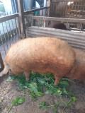 Porci Mangalita, crescuți bio, în propria curte