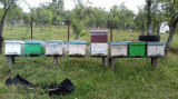 Vand familii de albine - stupi si rame incluse