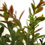 Buxus crenguta artificiala verde-rosu 45cm