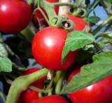 Seminte de rosii ST. PIERRE