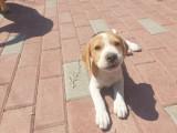 Pui catei beagle