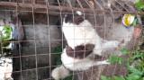 Femelă Ciobănesc de Bucovina