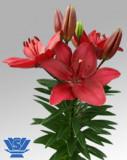 Bulbi =Crini asiatici   -FANGIO   cu 7 Ron/2buc