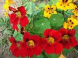 Cumpara ieftin Seminte Coltunasi catarator amestec de culori, 3 gr.