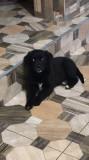 Labrador retriever negru si maro
