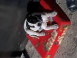 amstaff-pitbull