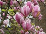 Magnolia roz (Magnolia soulangeana)